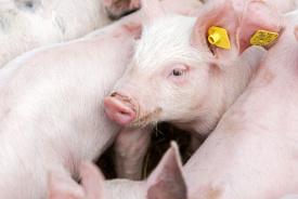 Gelijke varkensprijs geen prikkel voor biggenmarkt