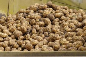 Tekort vroege aardappelen veroorzaakt prijssprong