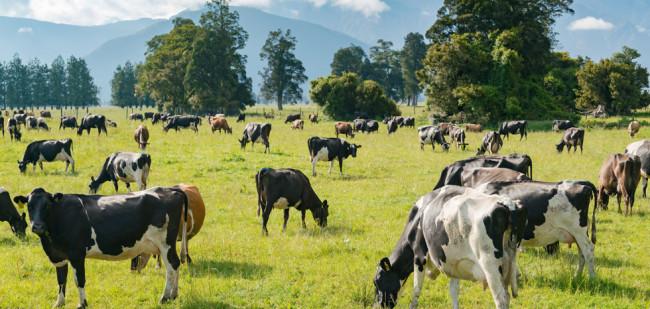 Melkveebedrijf vervangt koe door avocado