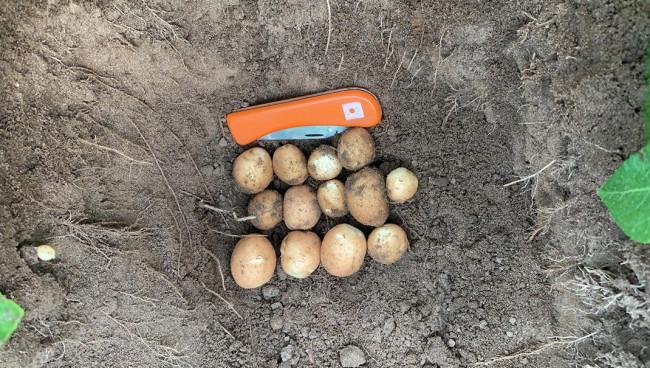 Flink veel loof en knollen op aardappelpercelen
